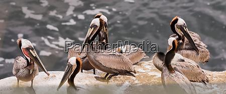 panoramiczny widok na brown pelikanow na