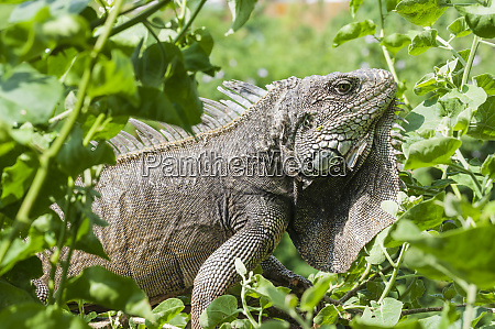 iguanaiguanidae