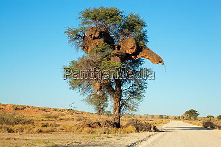 akacja drzewo i tkacz gniazdo
