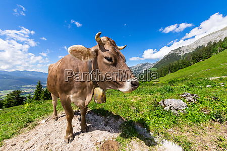 brazowy krowa w gorskim krajobrazie