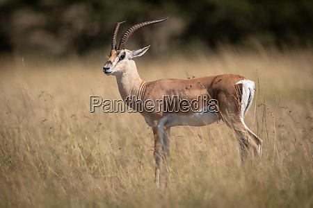 grant gazelle stands in grass eyeing