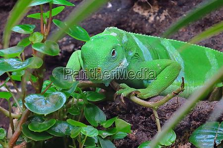 iguana z fidzi samiec brachylophus fasciatus