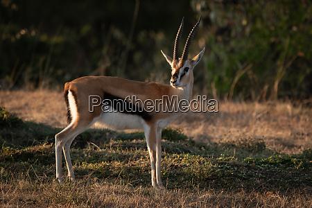 thomson gazelle stands on savannah eyeing