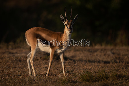 thomson gazelle stands with catchlight in