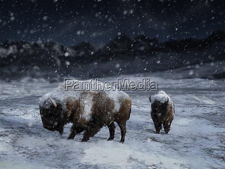 renderowanie 3d dwoch majestatycznych bizona w