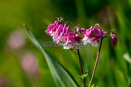 rozowe wiejskie kwiaty w zielonej trawie