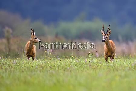 buck, deers, na, polanie, - 26183872
