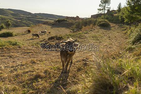 hiszpania barcelona montserrat ciekawa krowa na