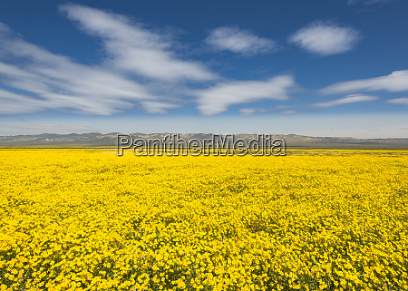 malowniczy widok na pole zoltych kwiatow