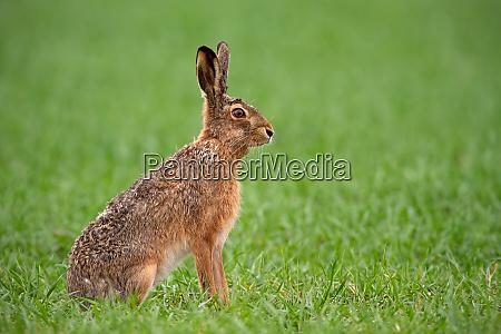 europejski brazowy zajac lepus europaeus latem