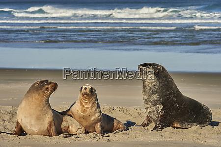 mezczyzna nowozelandzki lew morski lew morski