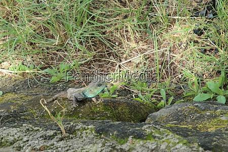 chameleon, in, kenya - 26524820