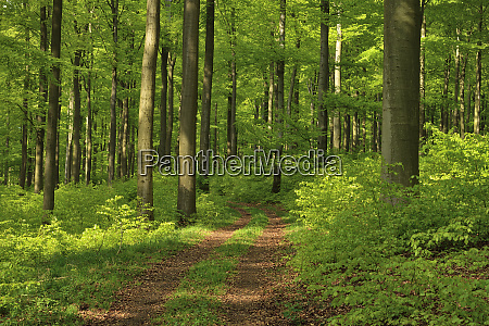 vital green forest in spring westerwald