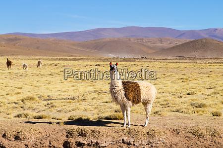 boliwijskie hodowla lam boliwia