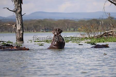 hippos, in, lake, naivasha, in, kenya - 26585016