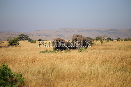 group of african bush elephants in