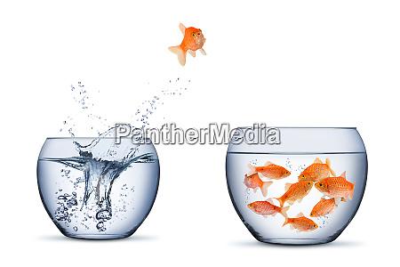 zlota zmiana ryb przeniesc retrun separartion