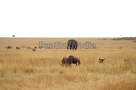 elephant gnus and zebras in the