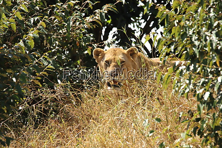 lion, between, grass, an, bushes - 26641515