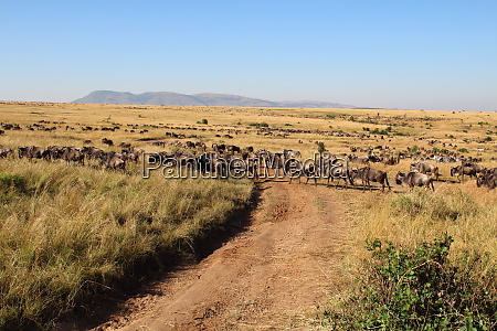 many animals wander through the masai