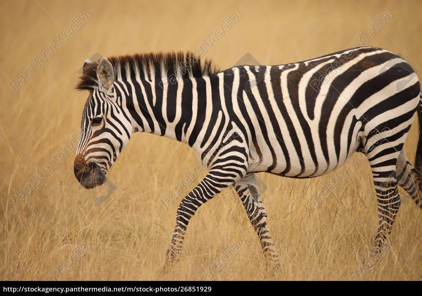 zbliżenie, zebry, w, kenii - 26851929