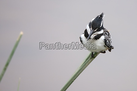 pied, kingfisher, sitting, on, a, blade - 26854125
