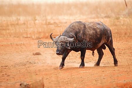 cape, buffalo, in, ngutuni, game, reserve - 26897660