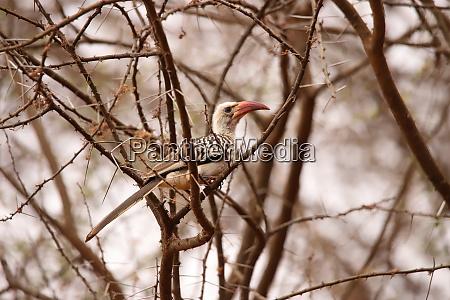 red-billed, hornbill, in, a, scrub, in - 26918342