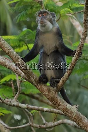sykes monkey on a branch