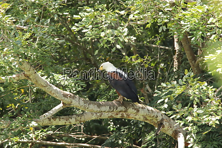 african fish eagle on a branch