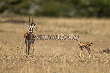 baby thomson gazelle watches mother eyeing