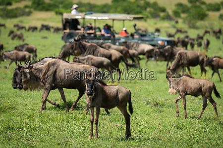 blue wildebeest stands watching camera near