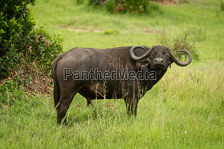 cape buffalo stands in grass watching