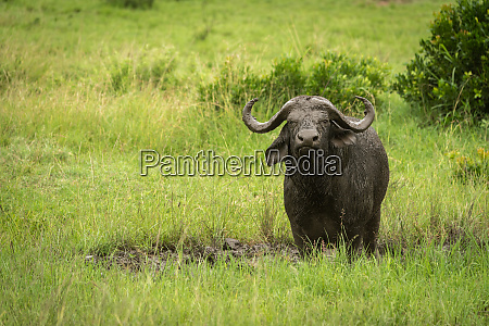 cape buffalo stands in mud watching