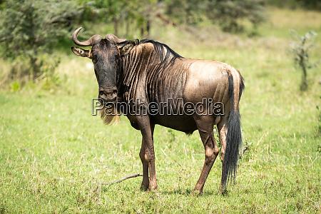 blue wildebeest missing horn stands watching