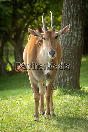 common eland stands by tree watching