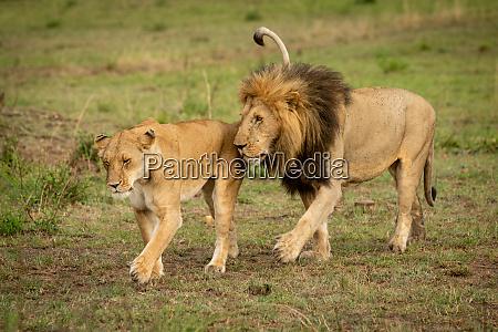 samce i samice lwy krzyz trawy
