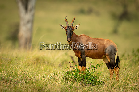 topi stands in long grass watching