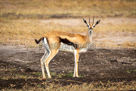 thomson gazelle stands in profile watching