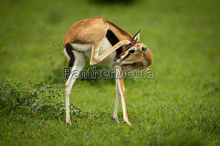 thomson gazelle stands in grass scratching