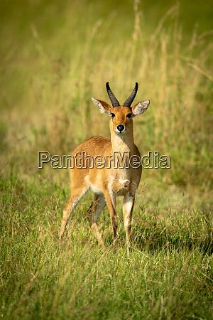 reedbuck stands in long grass watching