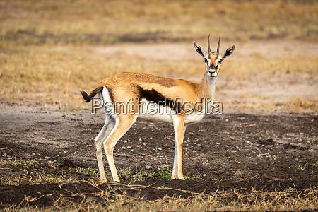 thomson, gazelle, stoi, w, profilu, oglądania - 27261094