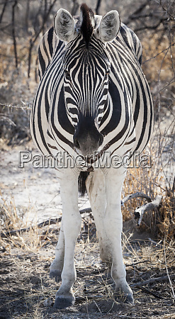 africa namibia etosha national park close