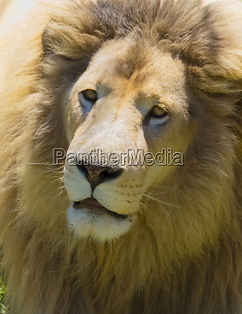lion western cape province south africa