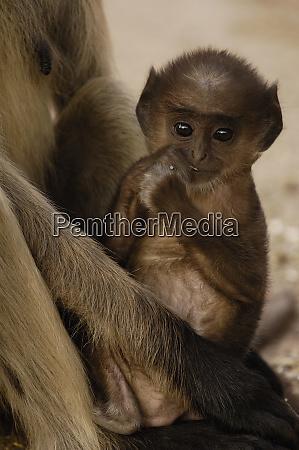 hanuman langurs or black faced common