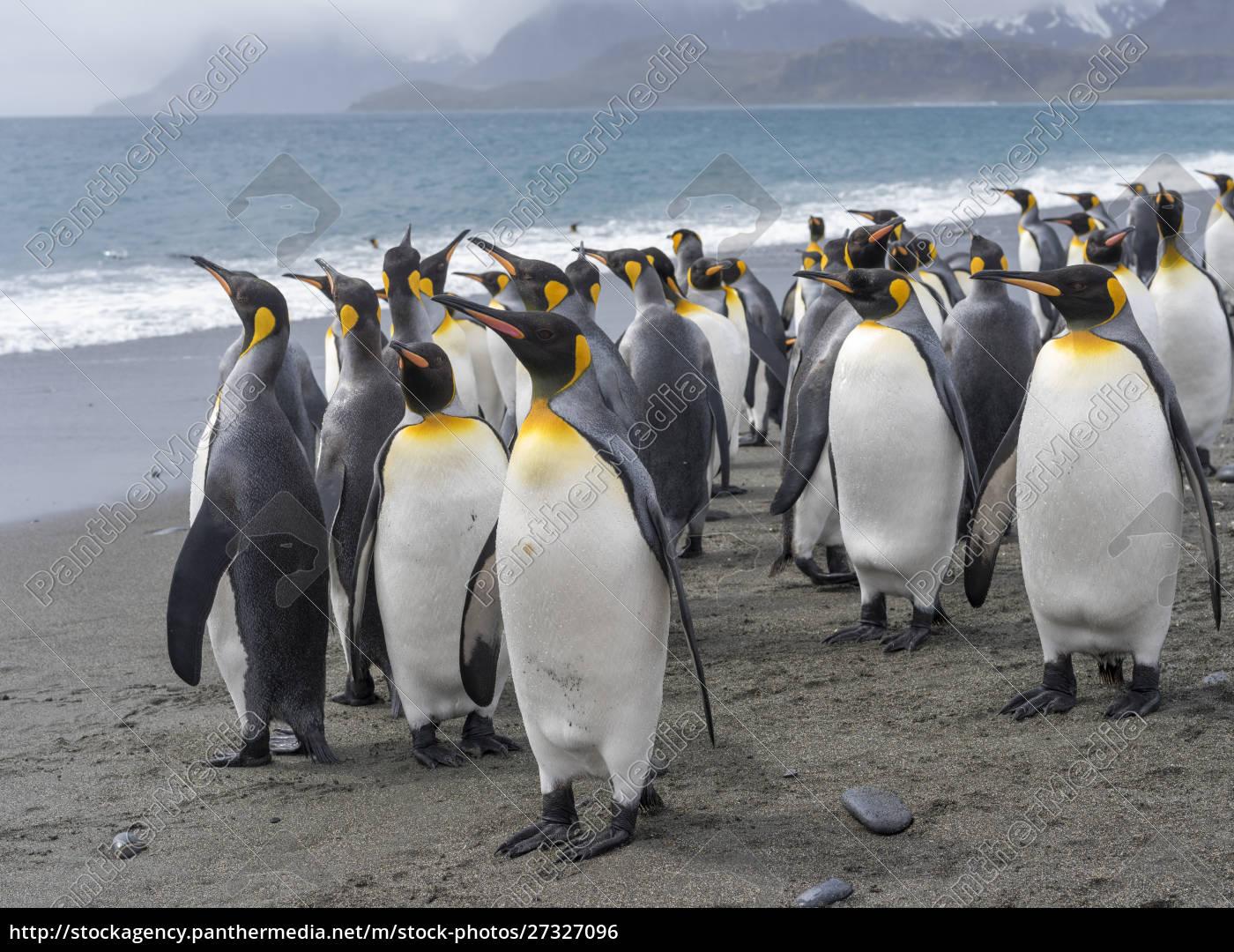 pingwin, król, (aptenodytes, patagonicus), na, wyspie - 27327096