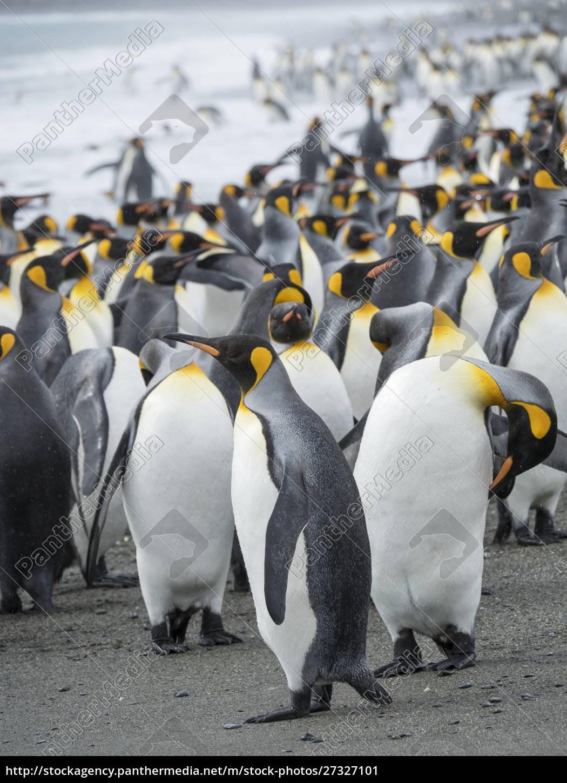 pingwin, król, (aptenodytes, patagonicus), na, wyspie - 27327101