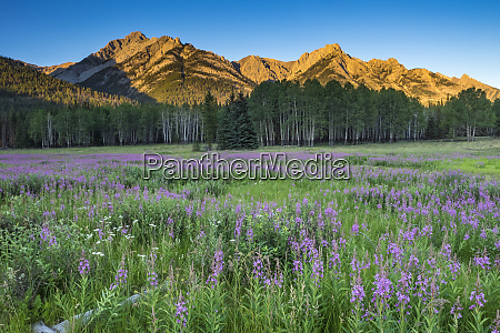 field of fireweed in meadow banff