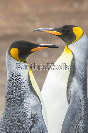 falkland islands east falkland king penguins