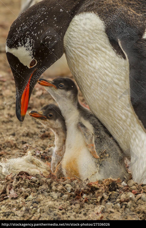 ameryka, południowa, falklandy, saunders, island., gentoo, pingwin, dorosły - 27336026